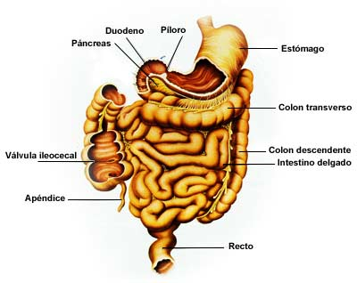Intestino grueso o colon